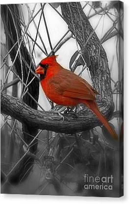 Mr Cardinal -card Canvas Print