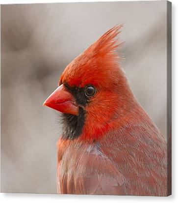 Mr Cardinal Portrait Canvas Print by Mircea Costina Photography
