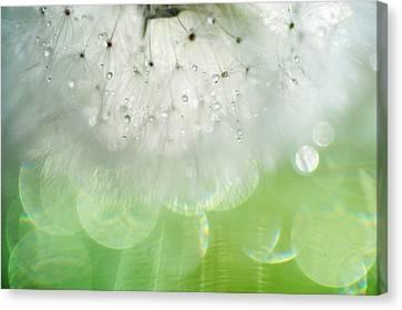 Mr. Dandelion. Inner Light Canvas Print by Jenny Rainbow