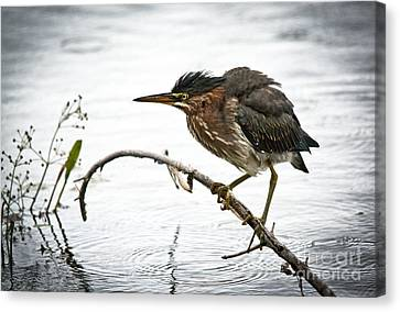 Mr. Green Heron Canvas Print by Cheryl Baxter