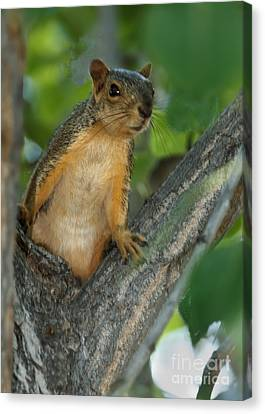 Fox Squirrel Canvas Print - Mr.  Inquisitive  by Robert Bales