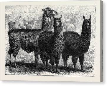 Mr. Ledgers Alpacas And Llamas At Sophienburg The Seat Of Mr Canvas Print
