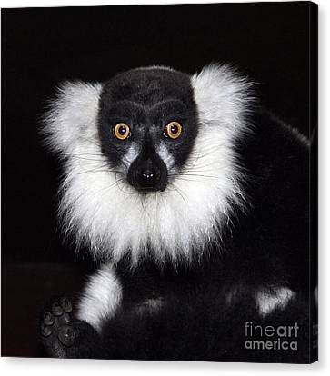 Canvas Print featuring the photograph Mr Lemur by Terri Waters