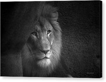 Mr Lion In Black And White Canvas Print