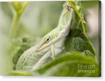 Mr Lizard Canvas Print by Erin Johnson