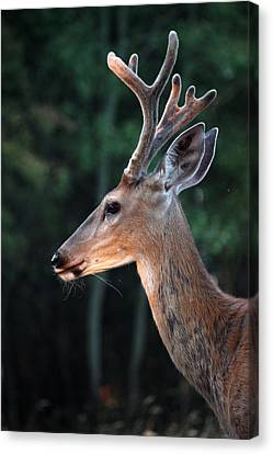 Mr. Majestic Canvas Print by Rita Kay Adams