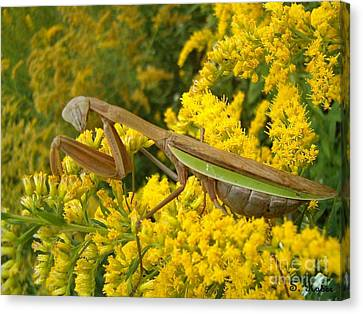 Canvas Print featuring the photograph Mr. Mantis by Sara  Raber