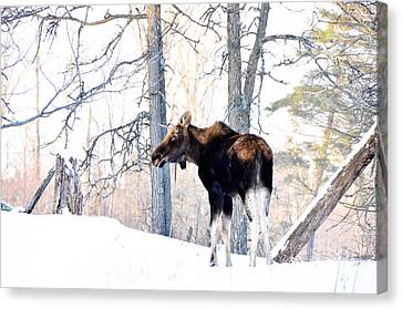 Mr. Moose Canvas Print by Cheryl Baxter
