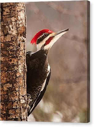 Mr. Pileated Canvas Print by Lara Ellis