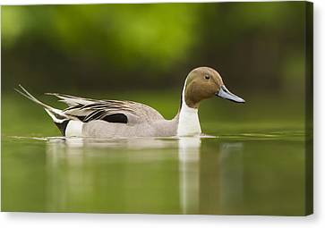 Mr Pintail  Canvas Print by Mircea Costina Photography