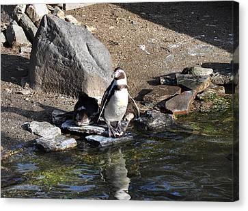 Mr Popper's Penguins Canvas Print by Bill Cannon