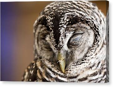 Mr Sleepyhead Canvas Print by Anne Gilbert