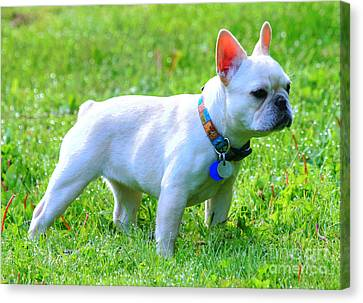 Ms. Quiggly - French Bulldog Canvas Print