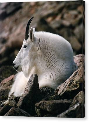Mt Evans Mountian Goat Canvas Print