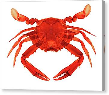 Mud Crab Canvas Print by Brendan Fitzpatrick