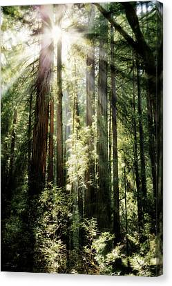 Muir Woods Forest - Red Wood Trees Canvas Print by Jennifer Rondinelli Reilly - Fine Art Photography
