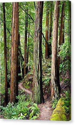 Muir Woods Canvas Print by Niels Nielsen