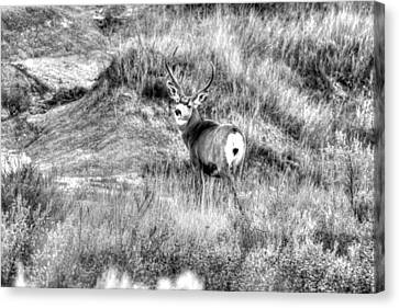 Canvas Print featuring the photograph Mule Buck B/w by Kevin Bone
