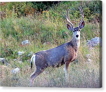 Canvas Print featuring the photograph Mule Deer Buck by Karen Shackles