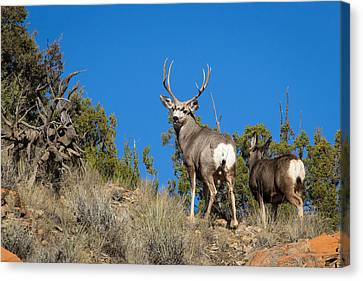 Mule Deer Buck Canvas Print