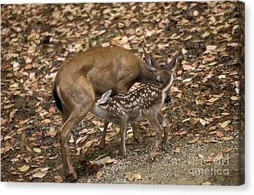 Mule Deer Doe And Fawn Canvas Print by Ron Sanford