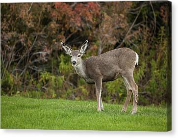 Michael Canvas Print - Mule Deer Doe On The Lawn At Mono by Michael Qualls