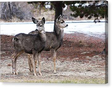 Mule Deer Fawns Canvas Print