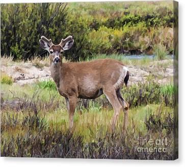 Mule Deer In Early Velvet Canvas Print