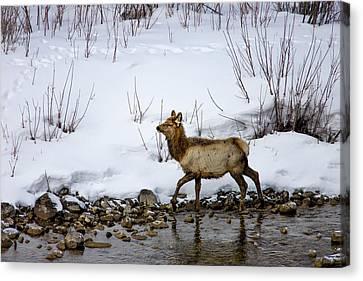 Mule Deer Canvas Print - Mule Deer In Grand Teton National Park by Tom Norring