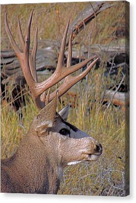 Canvas Print featuring the photograph Mule Deer by Lynn Sprowl