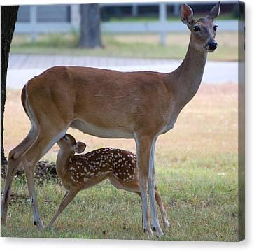 Mule Deer Nursing Canvas Print by Roy Williams
