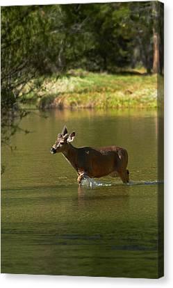 Mule Deer Canvas Print - Mule Deer (odocoileus Hemionus by David Wall