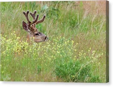 Mule Deer (odocoileus Hemionus Canvas Print by James White