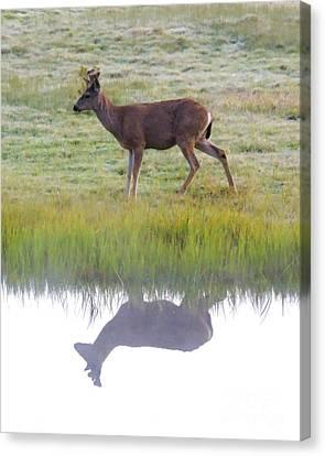 Mule Deer Reflection Canvas Print