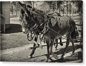 Mules In Harness Canvas Print by Russell Christie