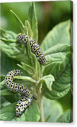 Eating Entomology Canvas Print - Mullein Moth Caterpillars by David Aubrey