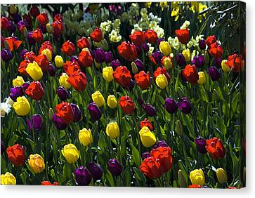 Multicolored Tulips At Tulip Festival. Canvas Print