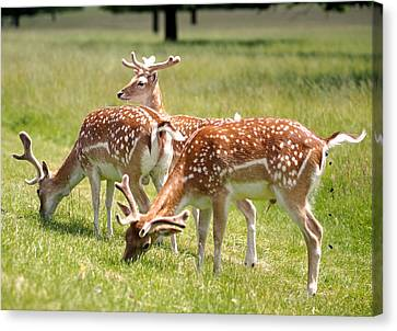 Canvas Print featuring the photograph Multitasking Deer In Richmond Park by Rona Black