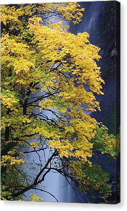 Multnomah Falls Maple Canvas Print by Ken Dietz