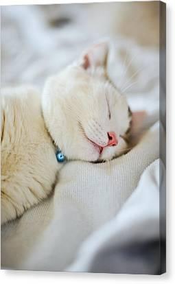 Munchkin Kitten Sleeping Canvas Print by Nazra Zahri