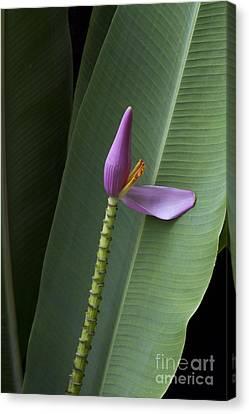 Musa Ornata - Pink Ornamental Banana Flower - Kepaniwai Maui Hawaii  Canvas Print