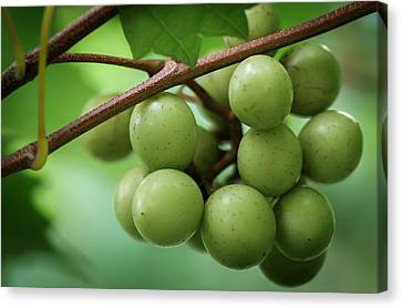 Jamesbarber Canvas Print - Muscadine Green by James Barber