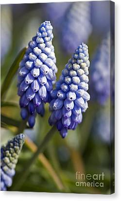 Spring Bulbs Canvas Print - Muscari Armeniacum 'valerie Finnis' by Dr Keith Wheeler