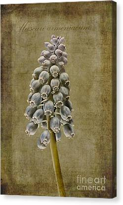 Muscari Armeniacum With Textures Canvas Print