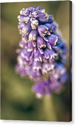Muscari Canvas Print by Caitlyn  Grasso