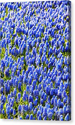 Muscari Early Magic Canvas Print by Jasna Buncic