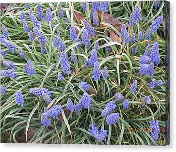 Canvas Print featuring the photograph Muscari Flowers 2 by Margaret Newcomb