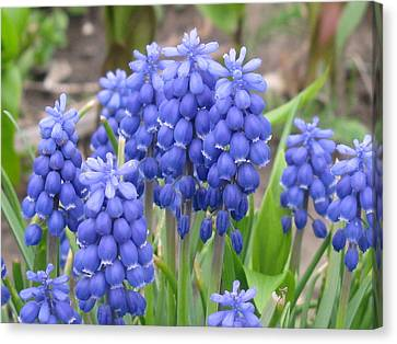 Canvas Print featuring the photograph Muscari Up Close by Margaret Newcomb