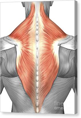 Muscles Of The Back And Neck Canvas Print by Stocktrek Images