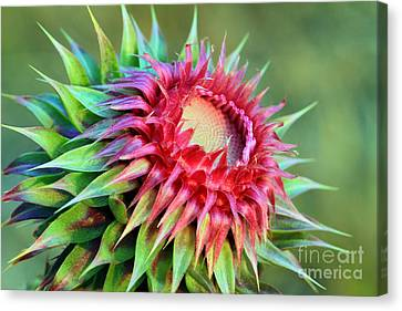 Canvas Print featuring the photograph Musk Thistle by Teresa Zieba